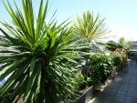 Tropical tales: cordylines
